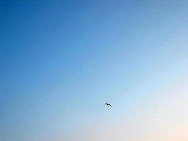 Loneseagull